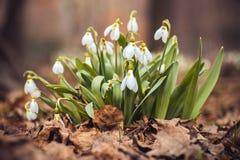 春天snowdrop花在森林里 免版税库存照片