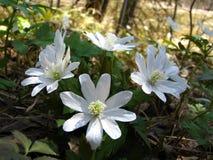 春天snowdrops在森林里 库存照片
