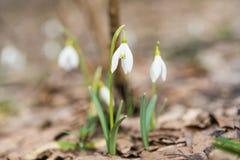 春天snowdrops第一朵花  免版税库存图片