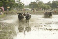 春武里市,泰国- 7月7 :水牛城赛跑的节日的未认出的竟赛者2013年7月7日。春武里市,泰国。赛跑费斯特的水牛城 库存照片