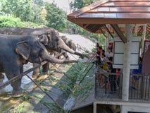 春武里市/泰国- 2018年4月15日:哺养对大象` s树干的青年人在Khao Kheow开放动物园里 免版税库存图片