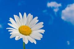 春白菊头状花序 延命菊细节 Leucanthemum Argyranthemum 库存照片
