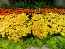 春白菊花橙色和黄色庭院装饰 库存照片