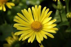 春白菊花以黄色 库存照片