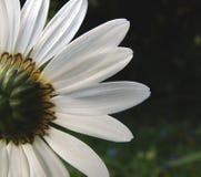 春白菊2 免版税库存图片
