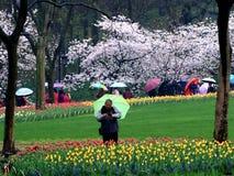 春雨,郁金香在盛开同时开花,作为访客 图库摄影