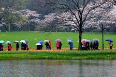 春雨,郁金香在盛开同时开花,作为访客 库存照片
