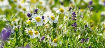 春黄菊和淡紫色在一个草甸开花在夏天 免版税库存图片