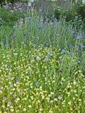春黄菊和矢车菊在草甸 免版税图库摄影