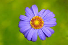 春黄菊唯一白色 免版税库存图片