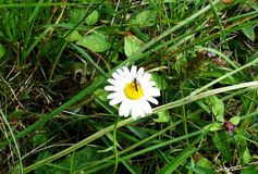 春黄菊在森林里和昆虫 免版税库存图片