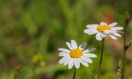 春黄菊在迷离自然背景的野花特写镜头 免版税库存照片