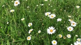 春黄菊增长以绿草为背景 白色野花拌入风 股票录像
