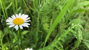 春黄菊增长以绿草为背景 白色野花 影视素材