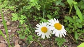 春黄菊增长以绿草为背景 白色野花 股票录像