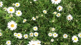 春黄菊增长以绿草为背景 移动风的白色野花 股票视频