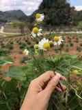 春黄菊庭院/德国春黄菊雏菊白花  库存照片