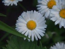 春黄菊开花  白色瓣 黄色雌蕊和雄芯花蕊 免版税库存照片