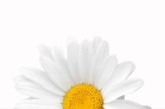 春黄菊接近  库存照片