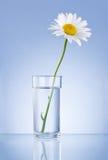 春黄菊新鲜的玻璃查出的唯一水 库存图片