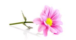 春黄菊查出的粉红色 免版税图库摄影