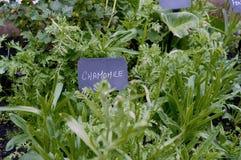 春黄菊特写镜头照片在药草园里 免版税库存图片