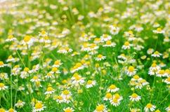 春黄菊特写镜头的领域 在一个晴天的美丽的草甸 开花花园夏天 自然墙纸 背景蓝色云彩调遣草绿色本质天空空白小束 图库摄影