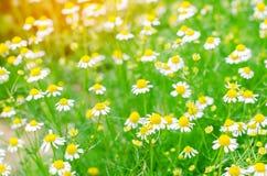 春黄菊特写镜头的领域 在一个晴天的美丽的草甸 开花花园夏天 自然墙纸 背景蓝色云彩调遣草绿色本质天空空白小束 免版税图库摄影