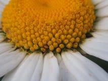 春黄菊特写镜头  花蕾的可看见的零件有响铃的p 免版税库存图片