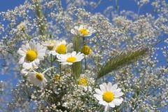 春黄菊白色麦狂放的草地早熟禾和花花束特写镜头反对天空 免版税图库摄影