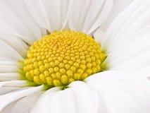 春黄菊白色 库存图片