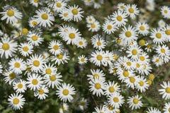 春黄菊的领域在一个晴朗的夏日 免版税图库摄影