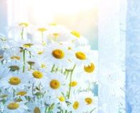 春黄菊美丽的花  库存照片