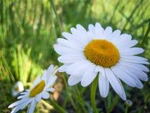春黄菊花在草甸 库存图片