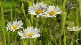 春黄菊花挥动由风的夏天早晨 影视素材