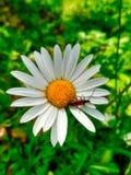 春黄菊花特写镜头,红色甲虫坐一束白花 免版税库存照片