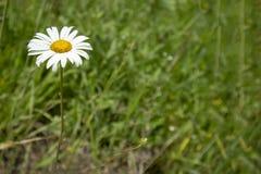 春黄菊花的简单的照片背景样式在草山谷的 免版税库存图片