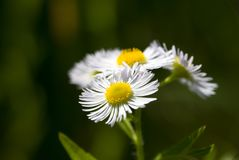 春黄菊花自然本底 免版税图库摄影