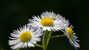 春黄菊花自然本底 库存图片