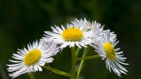 春黄菊花自然本底 库存照片