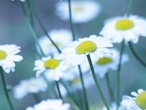 春黄菊花-雏菊花卉背景 库存照片