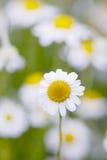 春黄菊花 库存照片