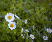 春黄菊雏菊域被射击的垂直的野花 免版税图库摄影
