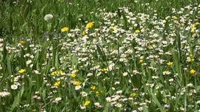 春黄菊雏菊域被射击的垂直的野花 影视素材