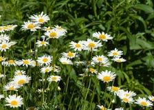 春黄菊,春黄菊, chamomel,雏菊链环,菊花字轮 免版税图库摄影