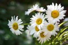 春黄菊,雏菊,夏天花束  免版税图库摄影