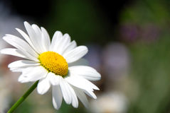 春黄菊 免版税图库摄影