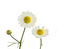 春黄菊 库存照片