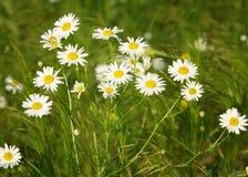 春黄菊 chamomel,雏菊链环,菊花字轮 雏菊家庭的一棵芳香欧洲植物,与白色和黄色象雏菊样的fl 免版税库存图片