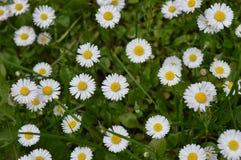 春黄菊一些 免版税图库摄影